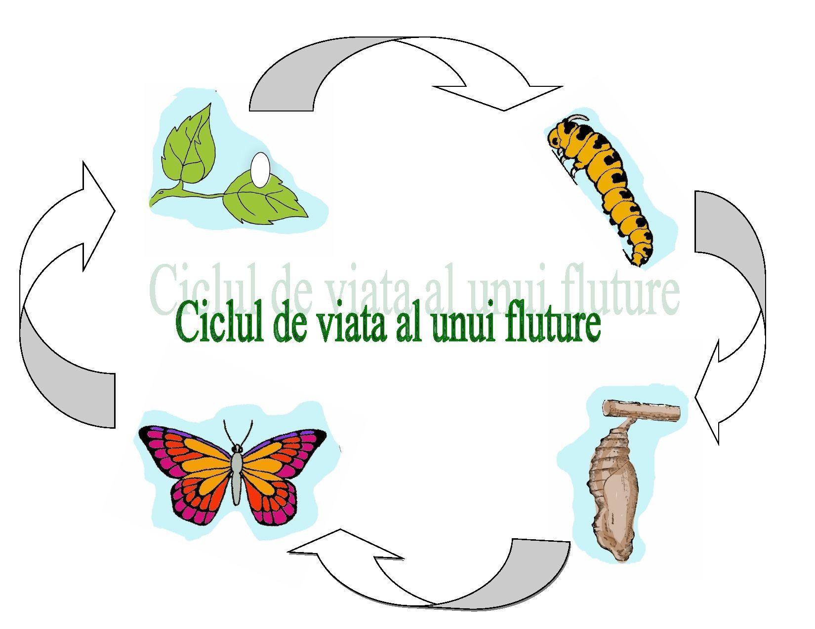 Ciclul de viață al fluturilor și lanțurilor Ciclul de viață al fluturilor și lanțurilor